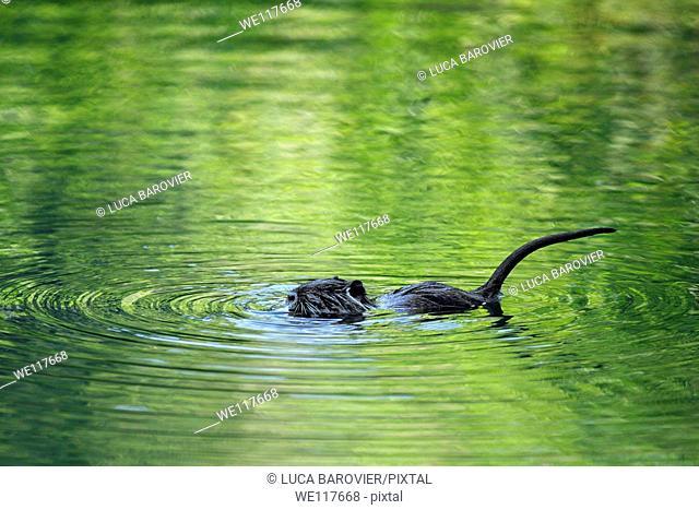 Nutria - Coypu puppy swimming