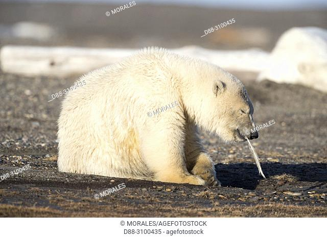 United States, Alaska, Arctic National Wildlife Refuge, Kaktovik, Polar Bear( Ursus maritimus ), Young playing with a feather along a barrier island outside...