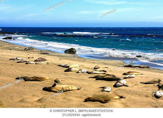 The Piedras Blancas elephant Seal Rookery on the Pacific coast near San Simeon in California