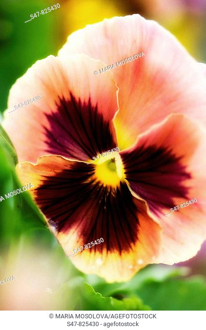 Peach Colored Round Pansy Flower Close-up. Viola x wittrockiana