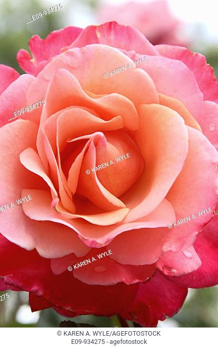 closeup of pink-and-peach-colored rose, water drops on some petals
