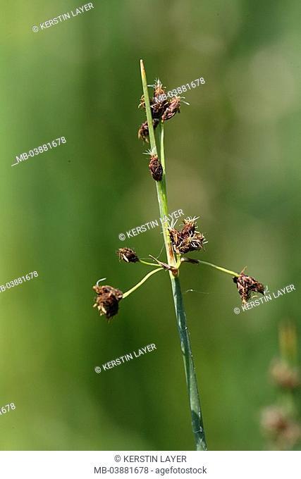 Glanzfrüchtige Binse, Juncus articulatus, close-up