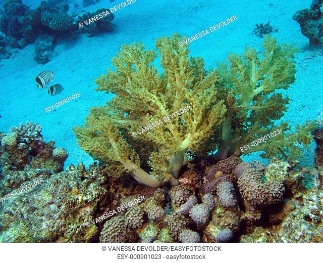 Underwaterscene with corals and fish in the Red Sea near Dahab, Egypt