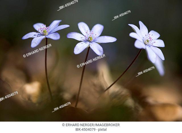 Liverwort (Hepatica nobilis), North Rhine-Westphalia, Germany