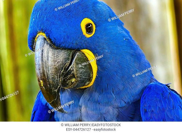 Blue Yellow Feathers Blue Hyacinth Macaw Parrot Anodorhynchus hyacinthinus genus species