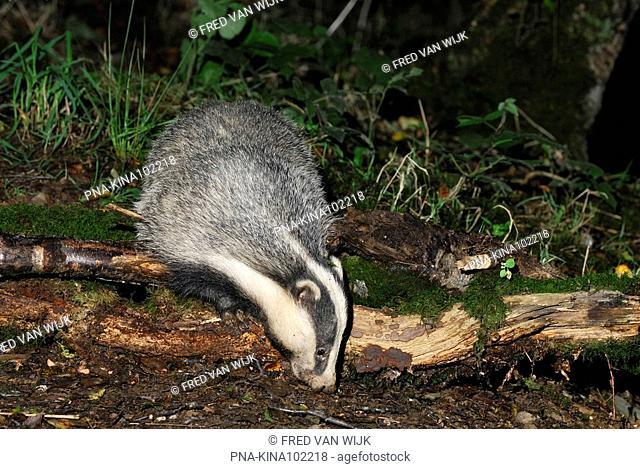 Badger Meles meles - Devon, England, Great Britain, Europe
