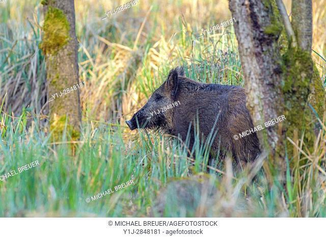 Wild boar (Sus scrofa) in Springtime, Hesse, Germany, Europe