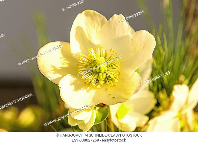 a blooming hellebore in a garden
