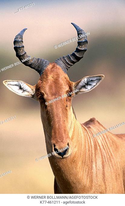 Red Hartebeest (Alcelaphus buselaphus). Masai Mara Game Reserve. Kenya