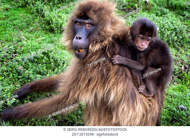 Gelada baboon (Theropithecus Gelada), Simien Mountains National Park, Amhara region, North Ethiopia. In Simien, not only the Gelada baboons inhabit