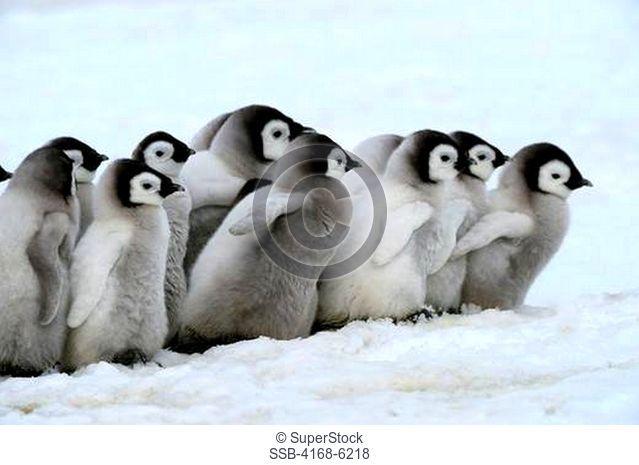 ANTARCTICA, WEDDELL SEA, SNOW HILL ISLAND, EMPEROR PENGUINS Aptenodytes forsteri, GROUP OF CHICKS WALKING ON ICE BETWEEN SATTELITE COLONIES
