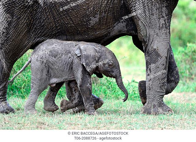 African elephan, calf aged approx 2 months next to its mother (Loxodonta africana), Masai Mara National Reserve, Kenya, Africa, October