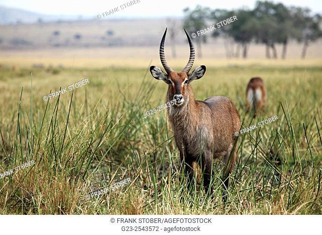 Waterbuck male. Maasai Mara National Reserve, Kenya