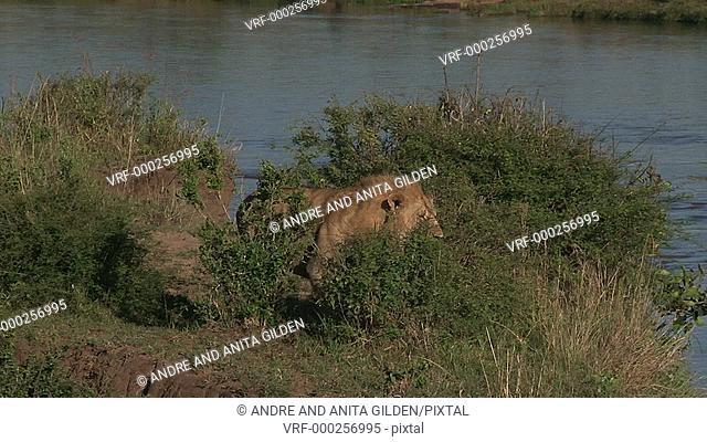 Lion (Panthera leo) overlooking Mara river for prey ,looking at camera
