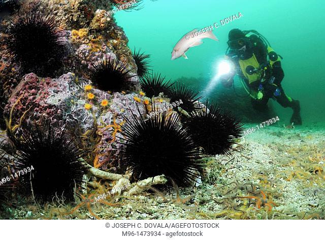 Sea urchins and scuba diver, Santa Cruz Island, California, USA