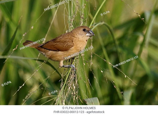Scaly-breasted Munia (Lonchura punctulata) juvenile, with ring on leg, perched on grass stems, Mai Po, New Territories, Hong Kong, China, December