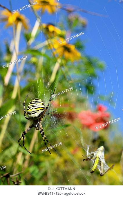Black-and-yellow argiope, Black-and-yellow garden spider (Argiope bruennichi), in its web in the garden, Germany