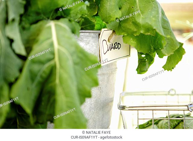 Close up of chard leaves in tin bucket
