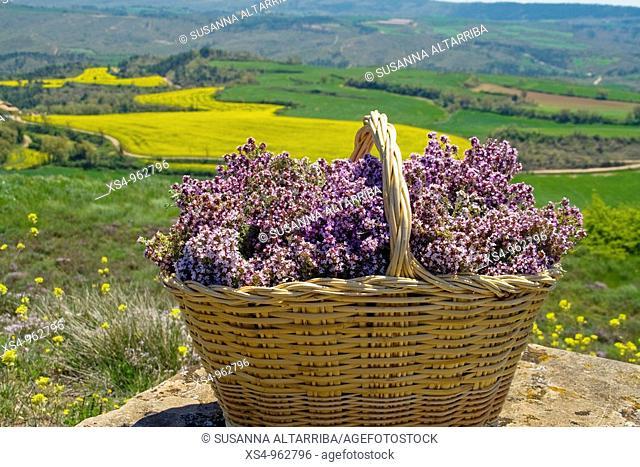 Wicker basket full of thyme in front of field of soya, Tymus vulgaris  Photo shot in Solsones, Catalonia, Spain, Europe, May 09
