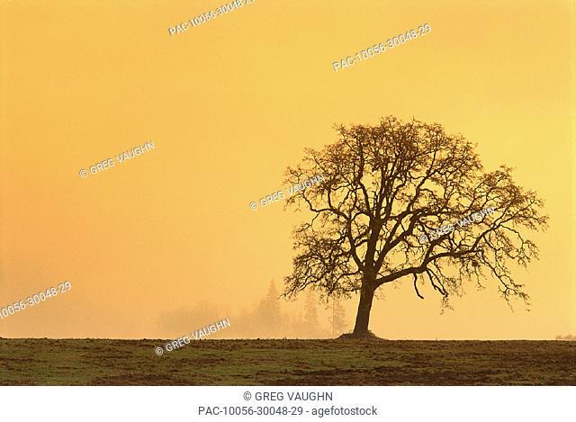 Oregon, Willamette Valley, single Oak tree in fog at sunrise B1634