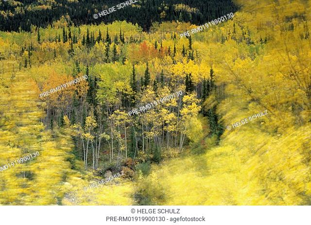 Quaking Aspen in fall - autumn