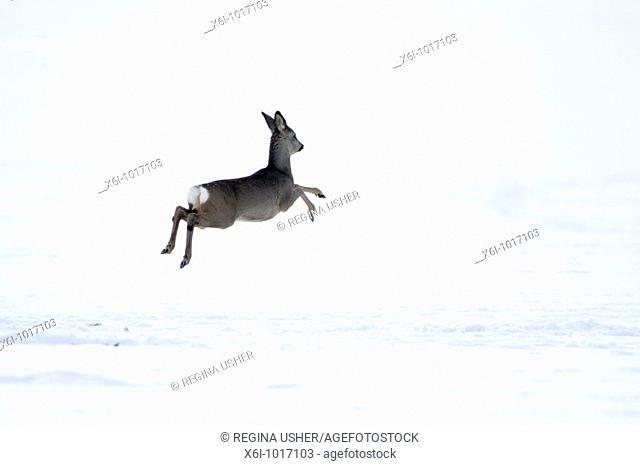 Roe deer, Capreolus capreolus, in winter, Harz mountains, Lower Saxony, Germany