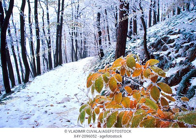 The leaves of Sweet Chestnut (Castanea sativa) covered by frost, Male Karpaty, Slovakia