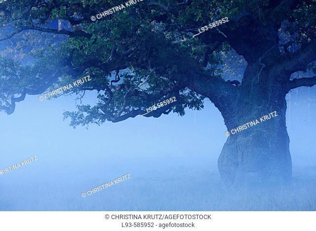 Old oak tree in fog
