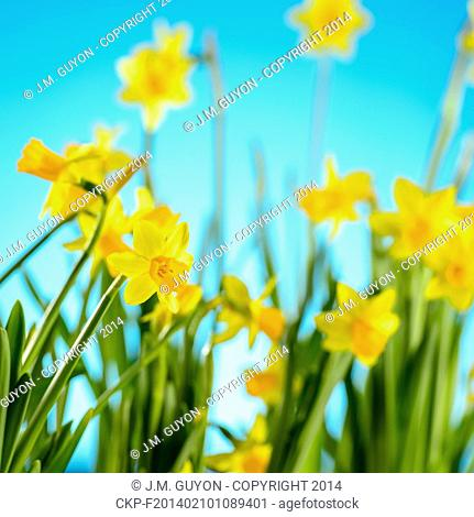 Spring flowers yellow narcissus on blue background