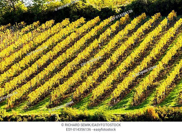 autumnal vineyard near Falkenstein, Lower Austria, Austria