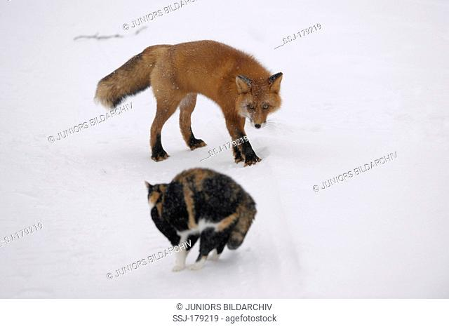 Red Fox (Vulpes vulpes). Ryska the cat chases a fox from the forest cabin. Who has more nerve? Kronotsky Zapovednik, Kamtchatka, Russia