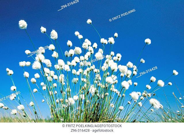Cotton grass (Eriophorum sp.). Germany