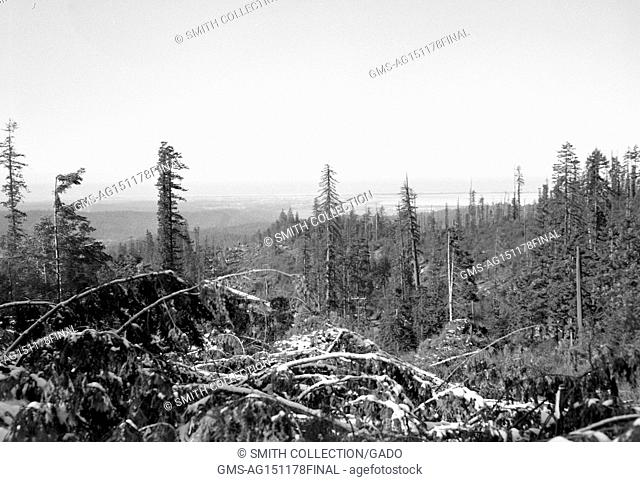 A forest of evergreen trees covered in snow, in a desolate rural portion of Eureka, California, 1950. ()