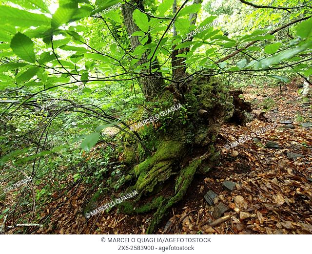 Sweet Chestnut tree (Castanea sativa) forest at Viladrau countryside. Montseny Natural Park. Barcelona province, Catalonia, Spain