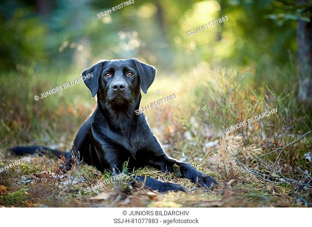 Mixed-breed dog (Labrador Retriever x ?). Black adult lying in a forest. Germany