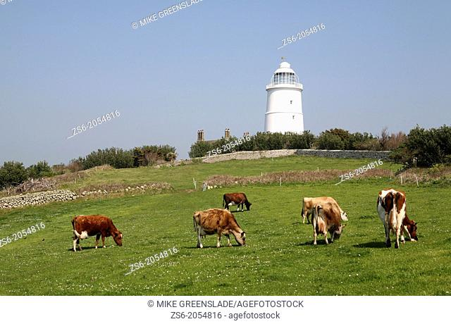 Cows grazing in front of St Agnes Lighthouse, Isles of Scilly, UK