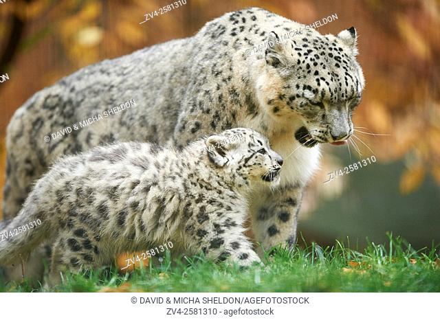 Close-up of a snow leopard (Panthera uncia syn. Uncia uncia) mother with her youngster in autumn. Captive. Germany