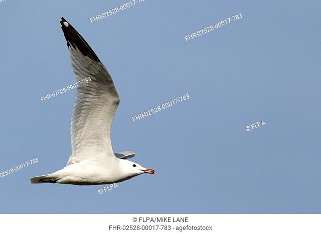 Audouins Gull Larus audouinii adult, summer plumage, in flight, Western Spain, april