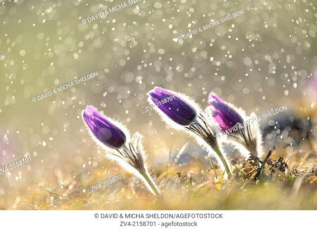 A group of Pulsatilla (Pulsatilla vulgaris) blooms in the grassland on a rainy evening in early spring, Bavaria, Germany