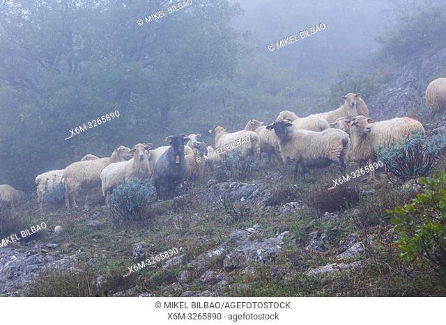 Latxa sheep flock in the mist. Aralar mountain range. Navarre, Spain, Europe