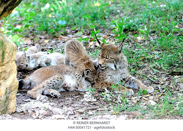 hunter, endemic animal species, Eurasian lynx, European lynx, protected animal species, to great cat, young lynxes, Jung's lynxes, cat, cats, lynx