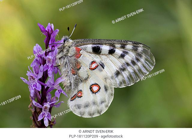 Mountain Apollo (Parnassius apollo) butterfly feeding on nectar from flower, native to alpine meadows and pastures of continental European mountains