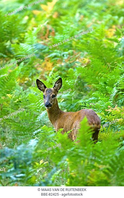 Young roe deer standing in ferns