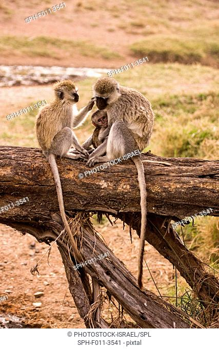 Grivet monkey (Chlorocebus aethiops). This monkey lives in groups of ten to thirty individuals feeding on vegetation, fruits and roots