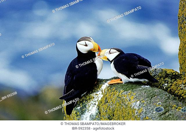 Atlantic Puffins (Fratercula corniculata) greeting each other Alaska
