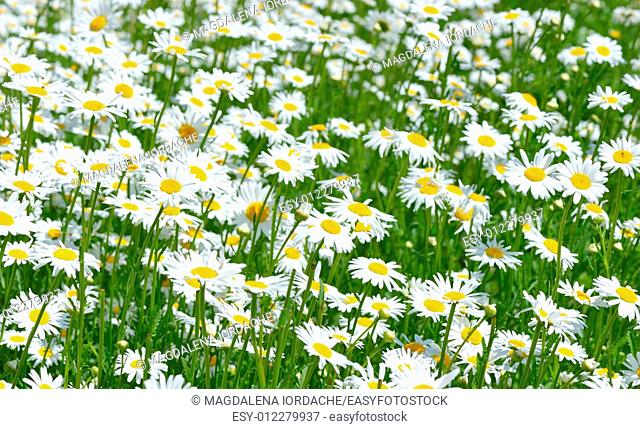 Beautiful Daisies in the field. Summer flowers