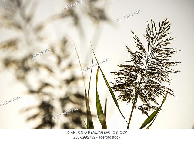 Reed with spikes (Phragmites australis). Almansa. Albacete province. Spain