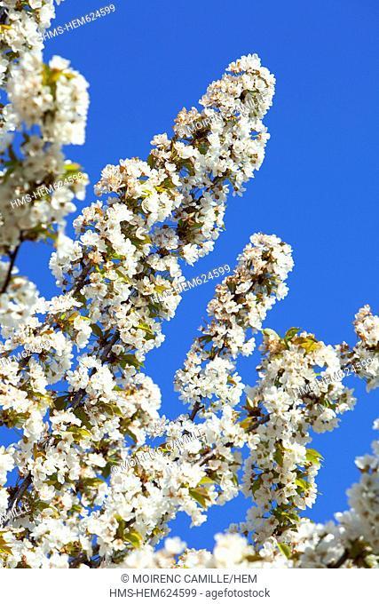 France, Vaucluse, Parc Naturel Regional du Luberon Natural Regional Park of Luberon, Lacoste, cherry blossoms
