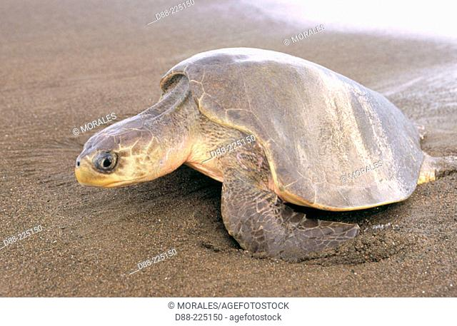Olive Ridley Sea Turtle (Lepidochelys olivacea)