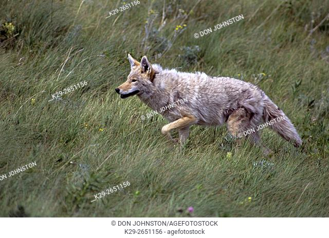 Coyote (Canis latrans) Hunting in foothills grassland, Waterton Lakes National Park, AB, Canada